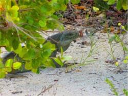 iguana-island